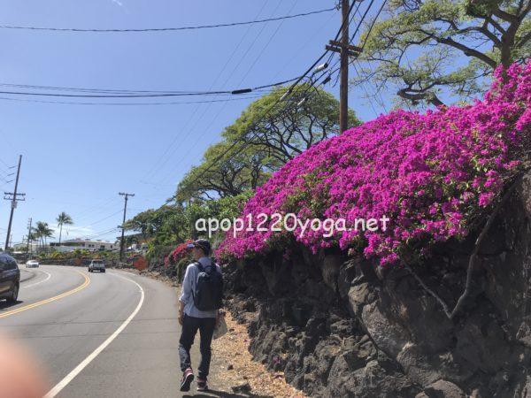 ハワイ島カイルアコナブーゲンビレア